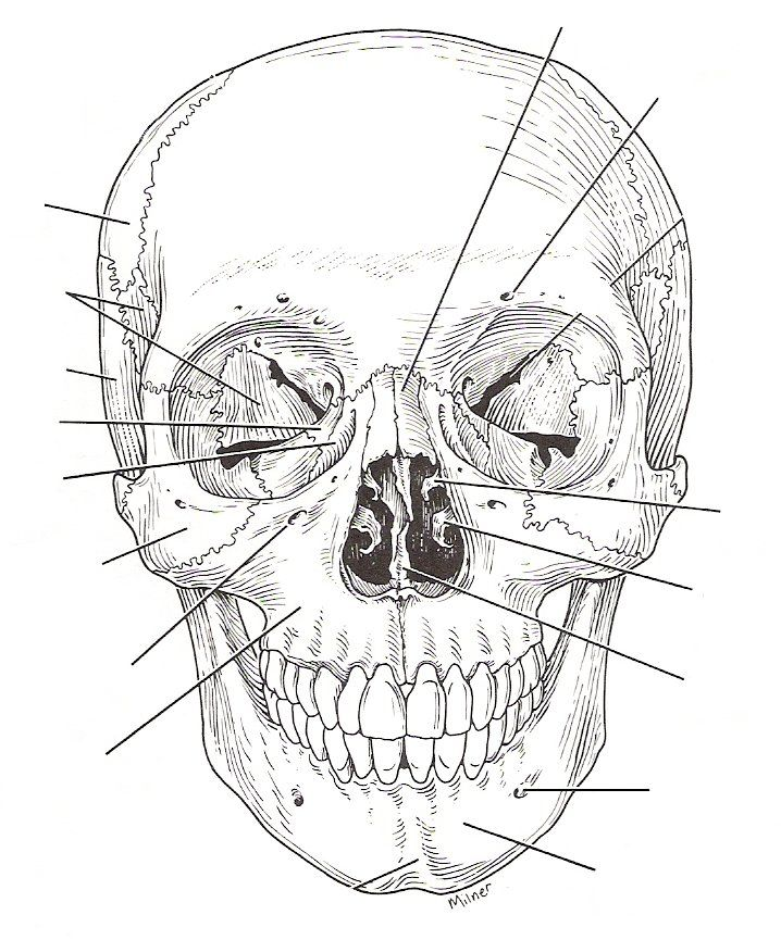 Human Skull Drawing Reference At Getdrawings