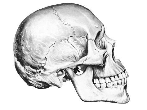 474x354 Human Skulls Drawings
