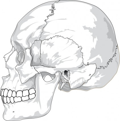 422x425 Human Skull Side View Clip Art Vector Clip Art Free Vector Free