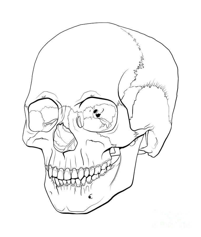 763x900 Line Illustration Of A Human Skull Digital Art By Nicholas Mayeux