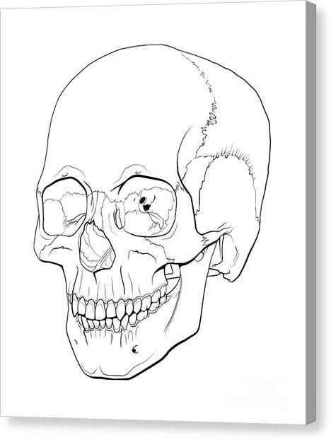 468x622 Mastoid Process Canvas Prints Fine Art America