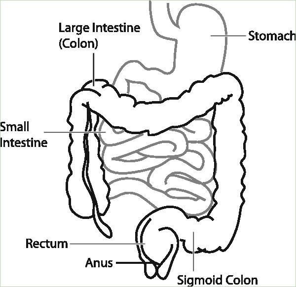 600x582 Diagram Of Intestinal System