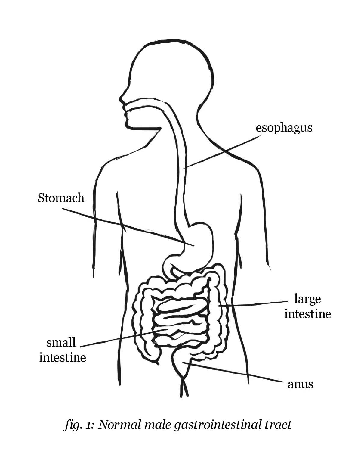 1200x1571 Sketches Of Human Digestive System Digestive System Template