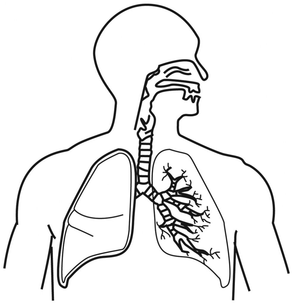 985x1024 Draw A Human Respiratory System And Label It Respiratory System
