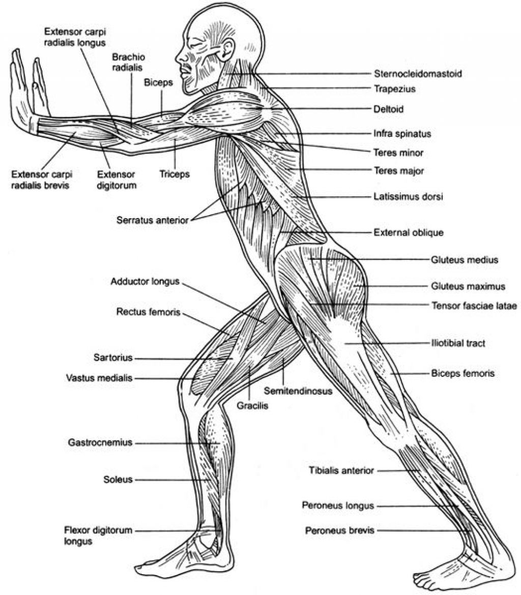 1024x1170 Printable Muscle Diagram Human Body