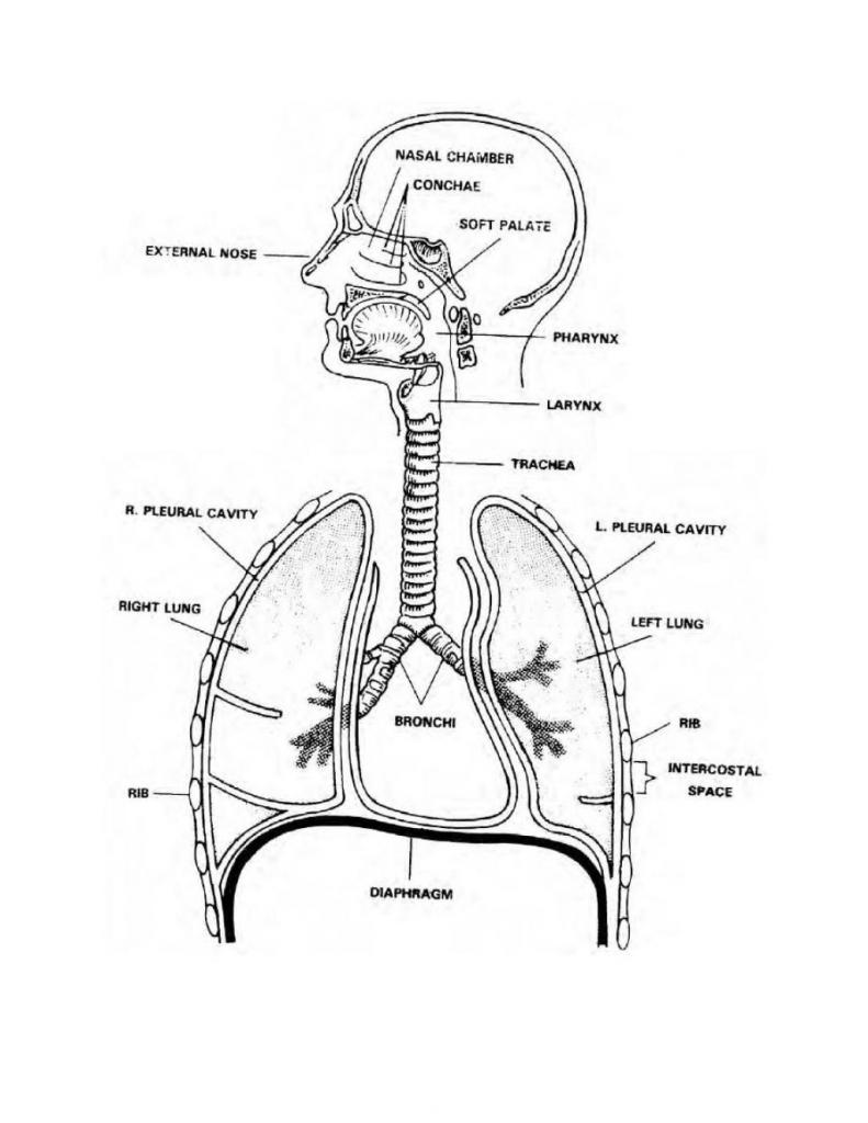 791x1024 Diagram Of Human Respiratory Organ Human Respiratory System