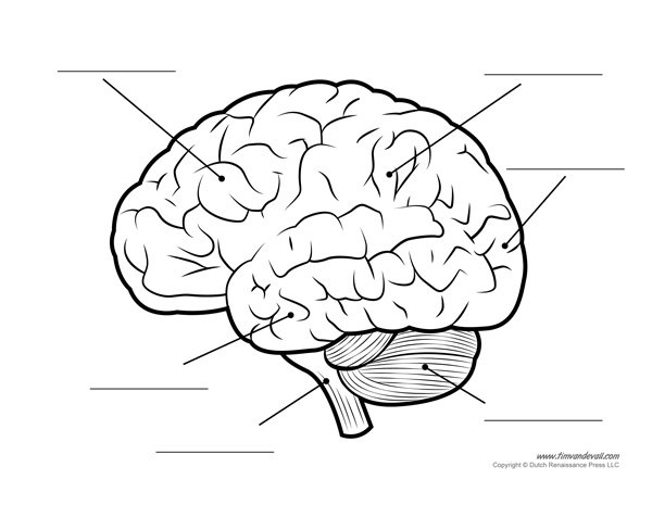 600x465 Human Brain Diagram Labeled, Unlabled, And Blank Kindergarten