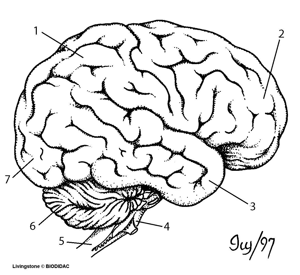 1198x1098 Human Brain Drawing Labeled The Nervous System