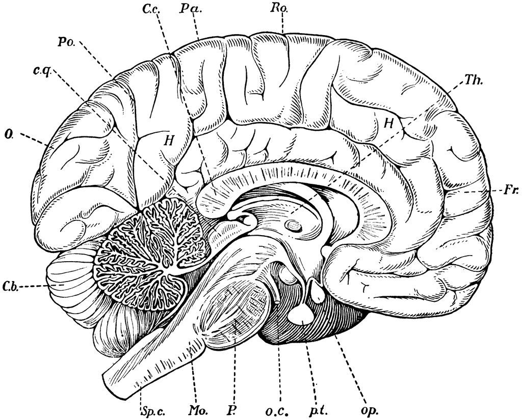 1024x825 Simple Labeled Pencil Sketch Diagram Of Human Brain Drawn Brain