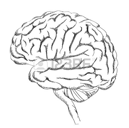 450x447 Brain Anatomy. Human Brain Lateral View. Sketch Illustration