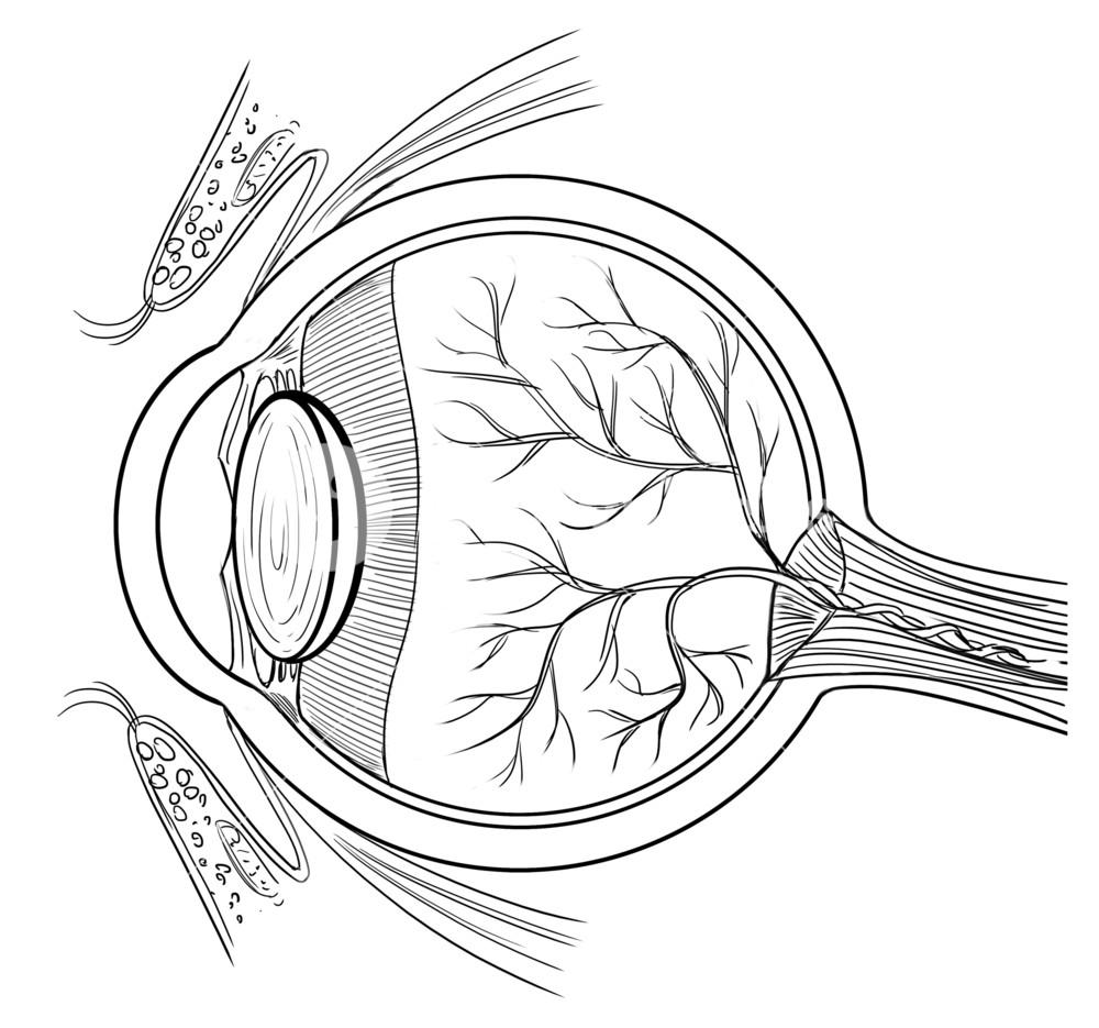 1000x935 Outline Illustration Of The Human Eye Anatomy Royalty Free Stock