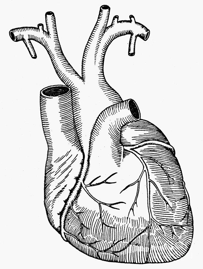 678x900 Human Heart Photograph By Granger
