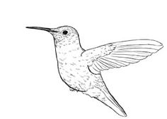 236x169 How To Draw Hummingbird.jpg Birds Of A Feather