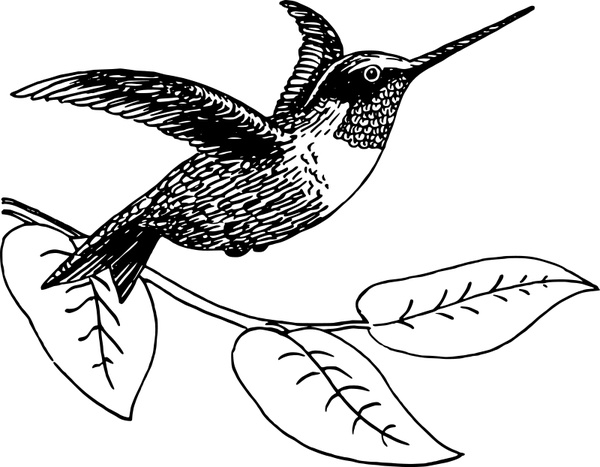 600x467 Hummingbird Free Vector In Open Office Drawing Svg ( Svg ) Vector
