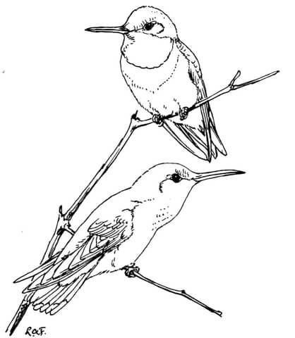418x480 Two Ruby Throated Hummingbirds Coloring Page Free Printable