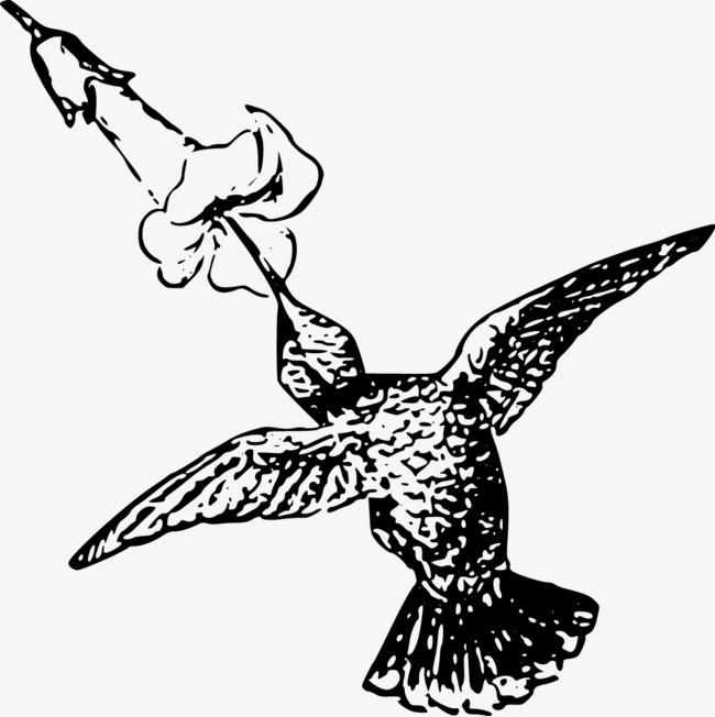 650x652 Vector Hummingbird, Hummingbird, Flowers, Morning Glory Png