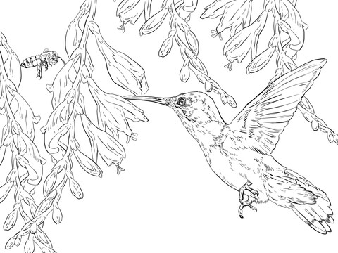 480x360 Bee Hummingbird Coloring Page Free Printable Coloring Pages