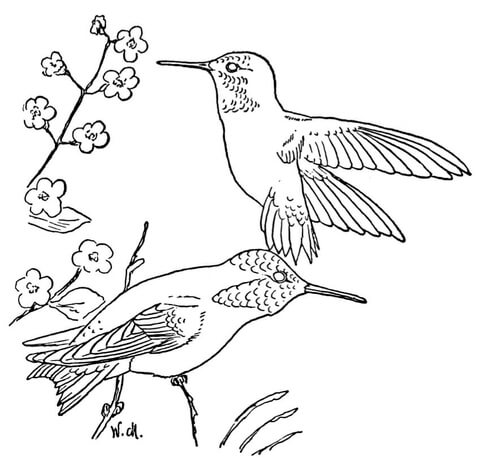 480x460 Rufous Hummingbird Coloring Page Free Printable Coloring Pages