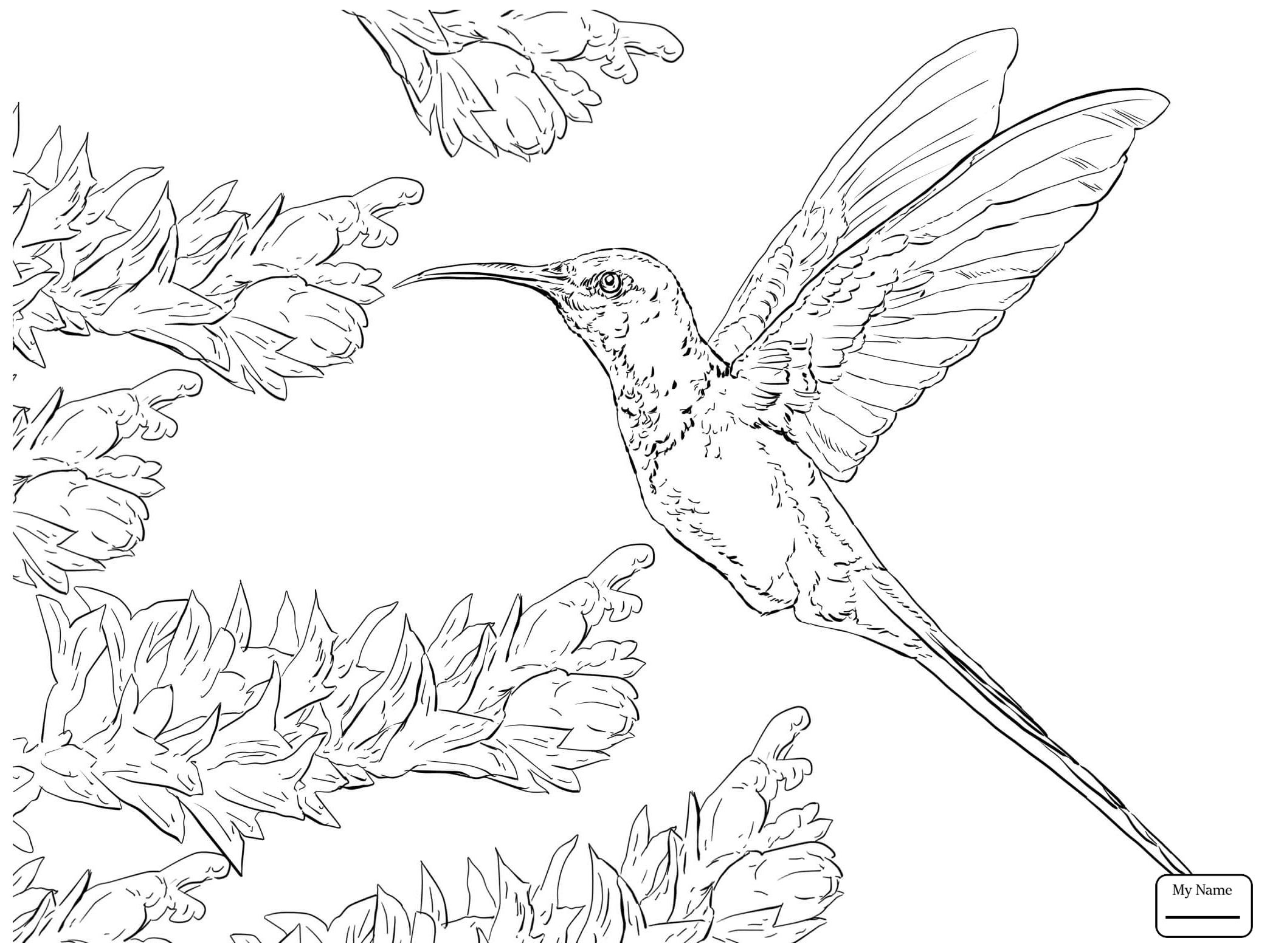 2089x1567 Coloring Pages For Kids Calliope Hummingbird Birds