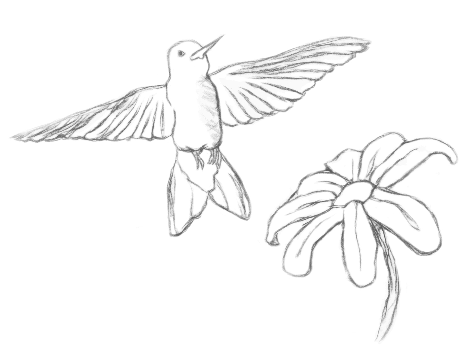 Hummingbird Line Drawing