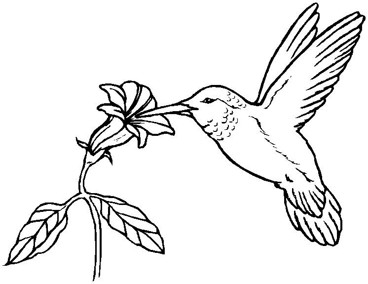 746x575 Pencil Sketch Hummingbird Coloring Page Pencil Sketch