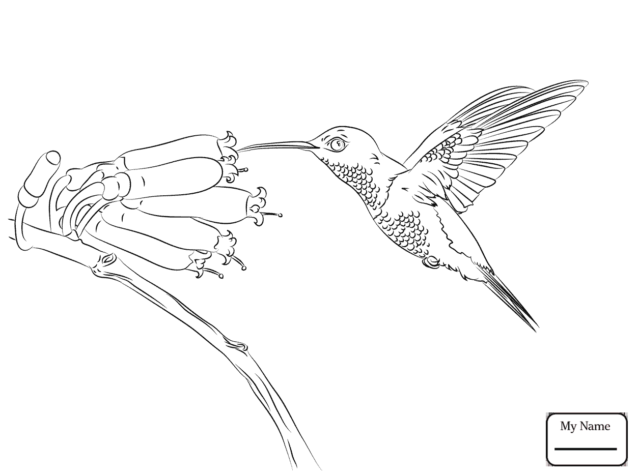 1253x934 Coloring Pages For Kids Calliope Hummingbird Birds