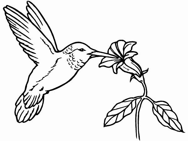 600x450 Hummingbird Coloring Pages Hummingbird Coloring Pages Coloring