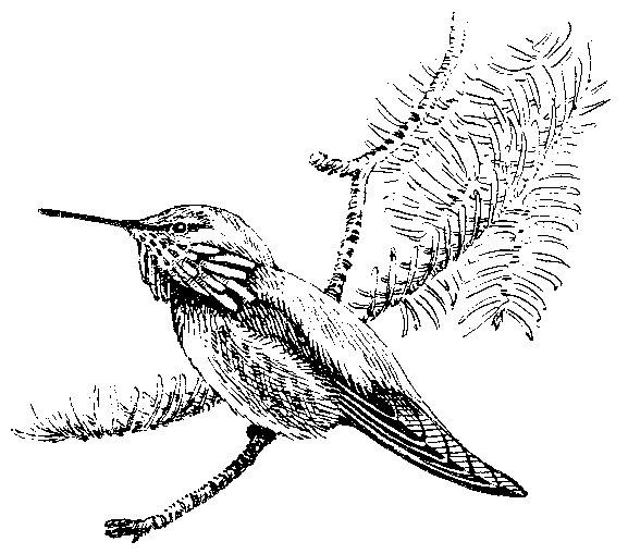 577x509 Birds Of Yosemite National Park (1954, 1963), Swifts
