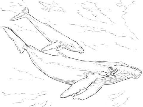 480x360 Humpback Whales Coloring Page Free Printable Coloring Pages