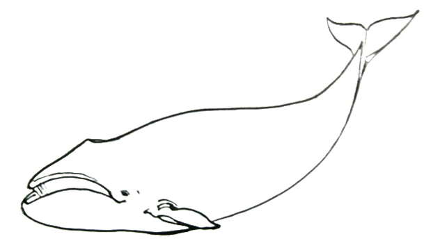 609x360 Bowhead Whale Drawing 092