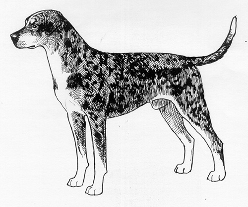 500x416 Breed Standards Louisiana Catahoula Leopard Dog United Kennel