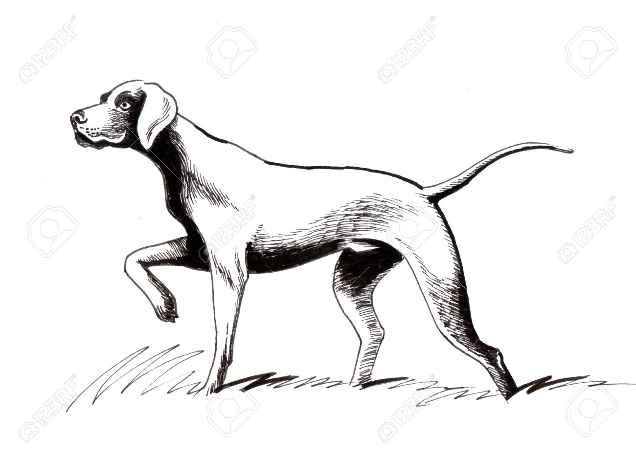 1300x935 Hunting Dog. Ink Illustration Stock Photo, Picture And Royalty