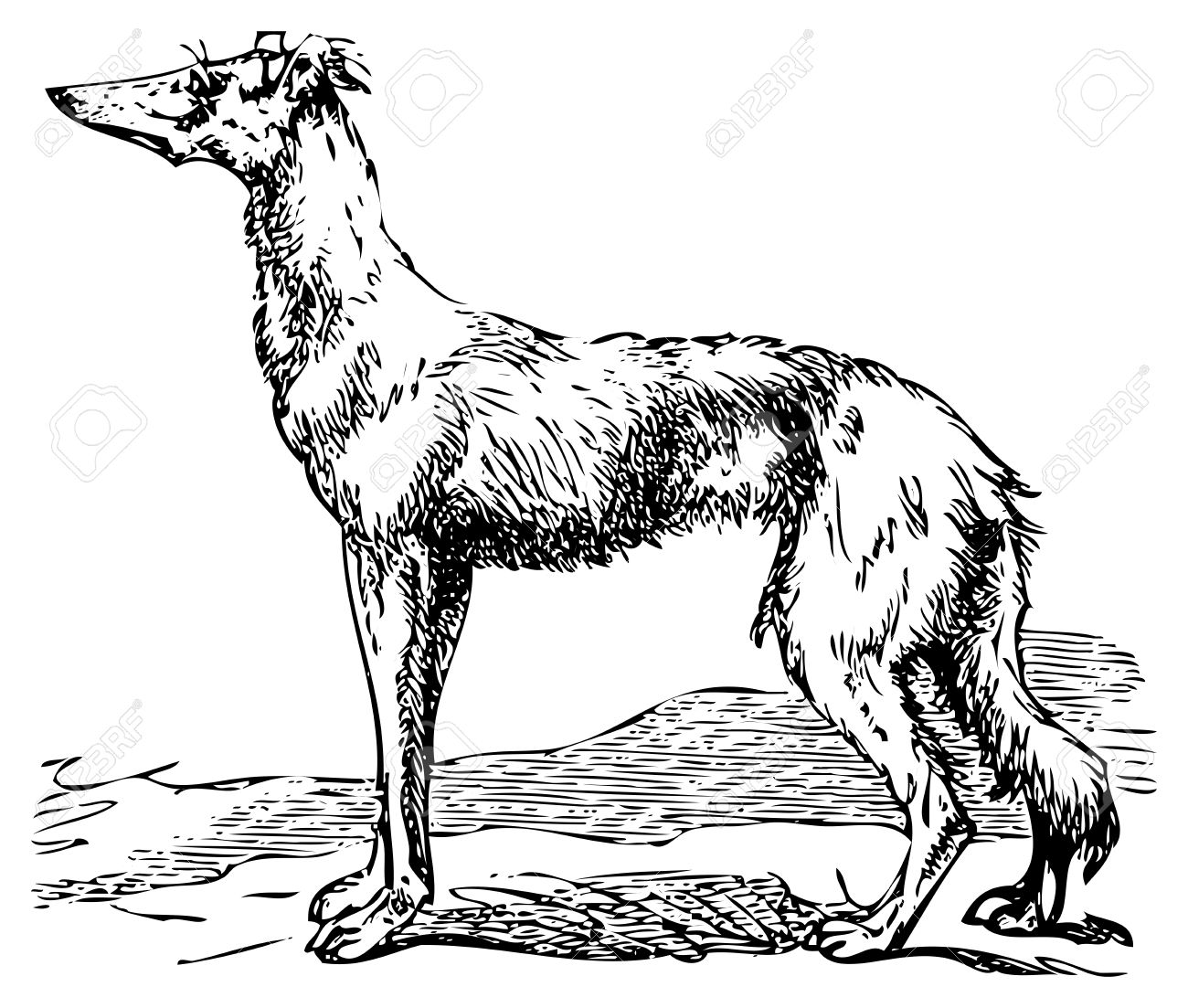 1300x1103 Old Engraving Of A Saluki Or Borzoi Dog, Which Are The Oldest