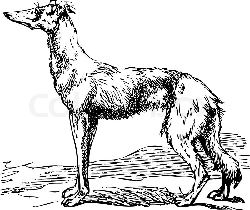 800x672 Old Engraving Of A Saluki Or Borzoi Dog, Which Are The Oldest