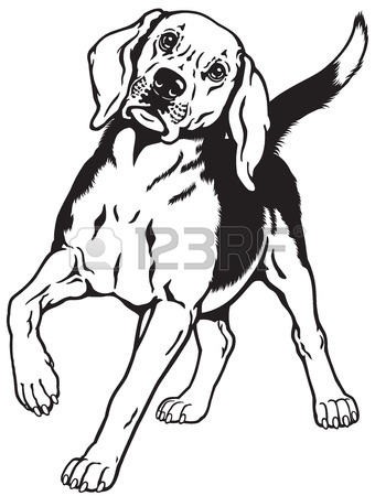 340x450 Beagle Hunting Hound Dog, Front View, Black And White Image