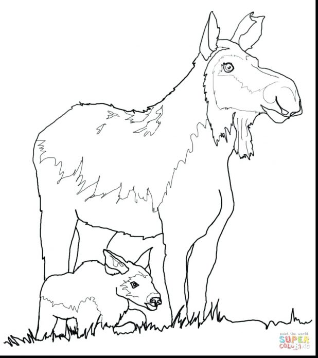 618x696 Fantastic Cow And Calf Coloring Pages With Moose Mariner Elk