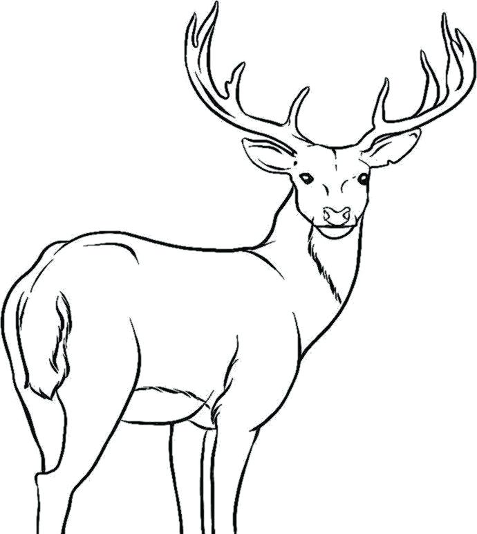 690x772 Elk Coloring Page How To Draw An Elk Step 7 Coloring Page Elk
