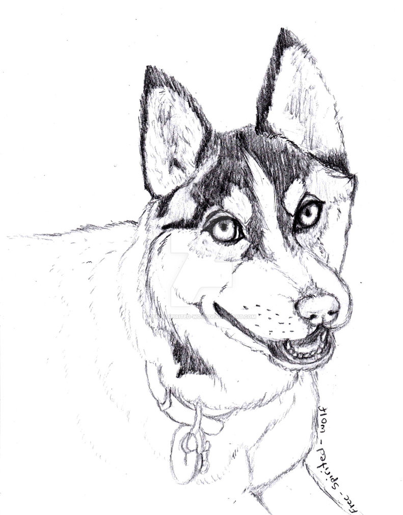 791x1010 Wip (Realistic) Siberian Husky Drawing By Free Spirited Wolf