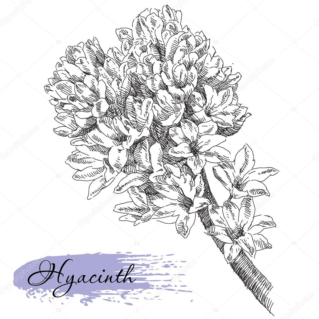 1024x1024 Hand Drawn Hyacinth Flower Stock Vector Irina Katunina