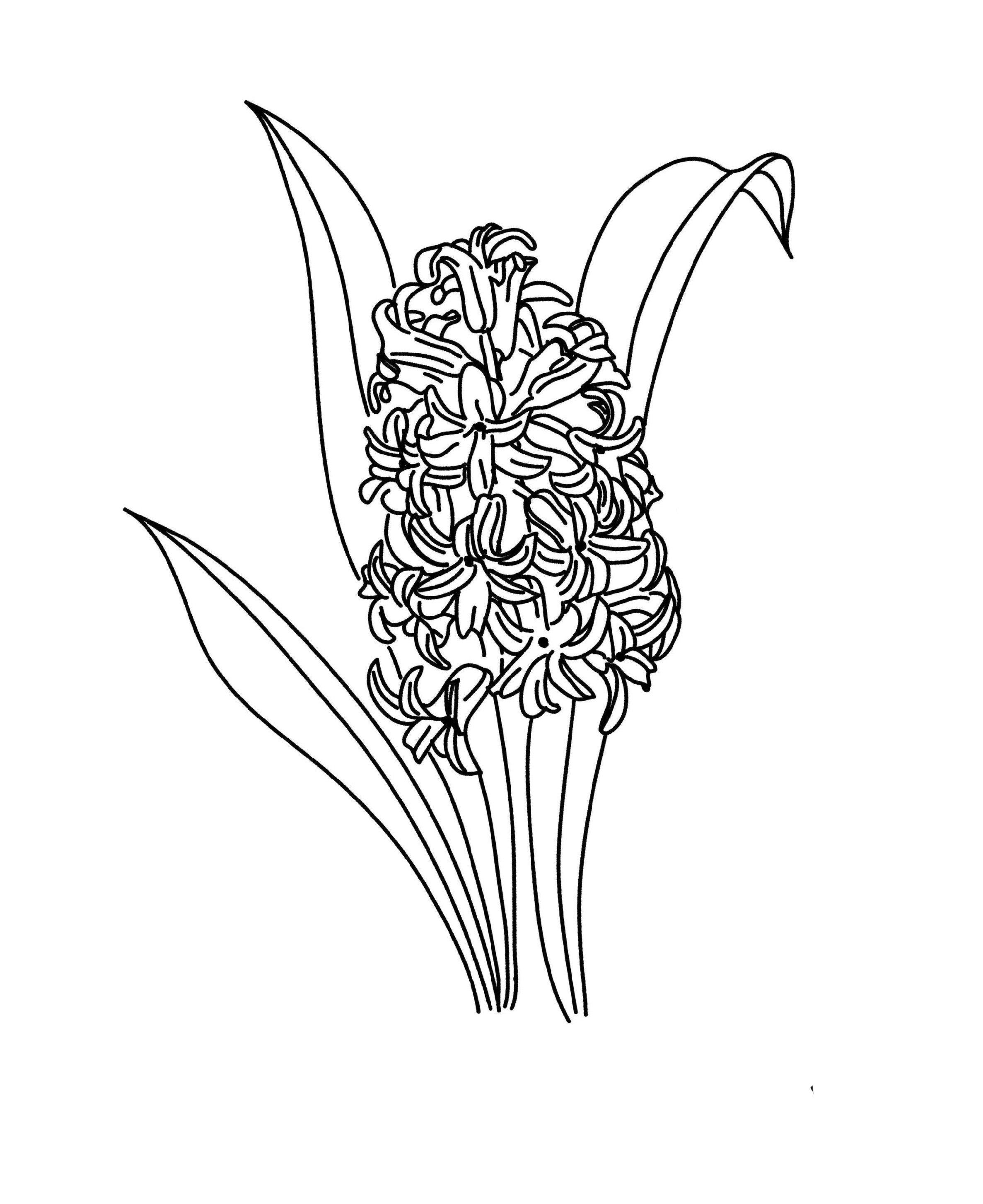 2373x2907 Hyacinth