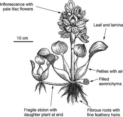 397x377 Hyacinth (Eichhornia Crassipes).