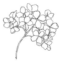 202x207 Hydrangea Flower Coloring Pages ~ The Ideas Of Coloring Page