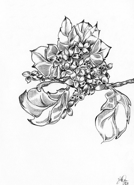 570x786 Hydrangea Pencil Drawing Ooak One Of A Kind Original Sketch