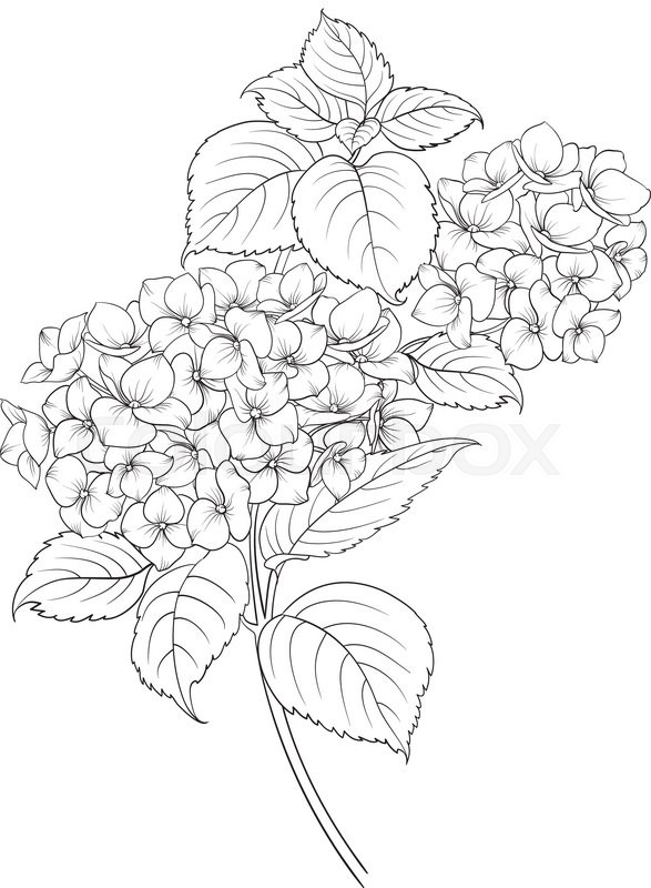 587x800 Blooming Flower Hydrangea On White Background. Mop Head Hydrangea
