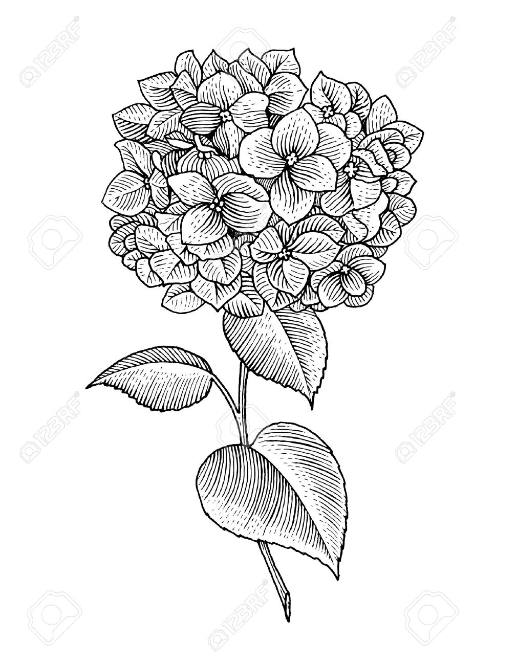 1010x1300 Sprig Of Blooming Hydrangea, Black And White Graphics Royalty Free
