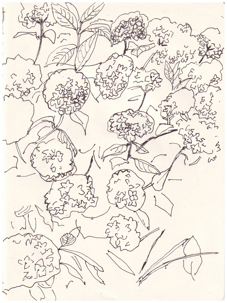 768x1024 The World's Best Photos Of Drawing And Hydrangea