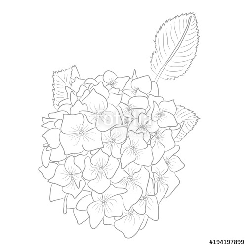 500x500 Vector Drawing Of Contour Hydrangea For Coloring Book Stock Image