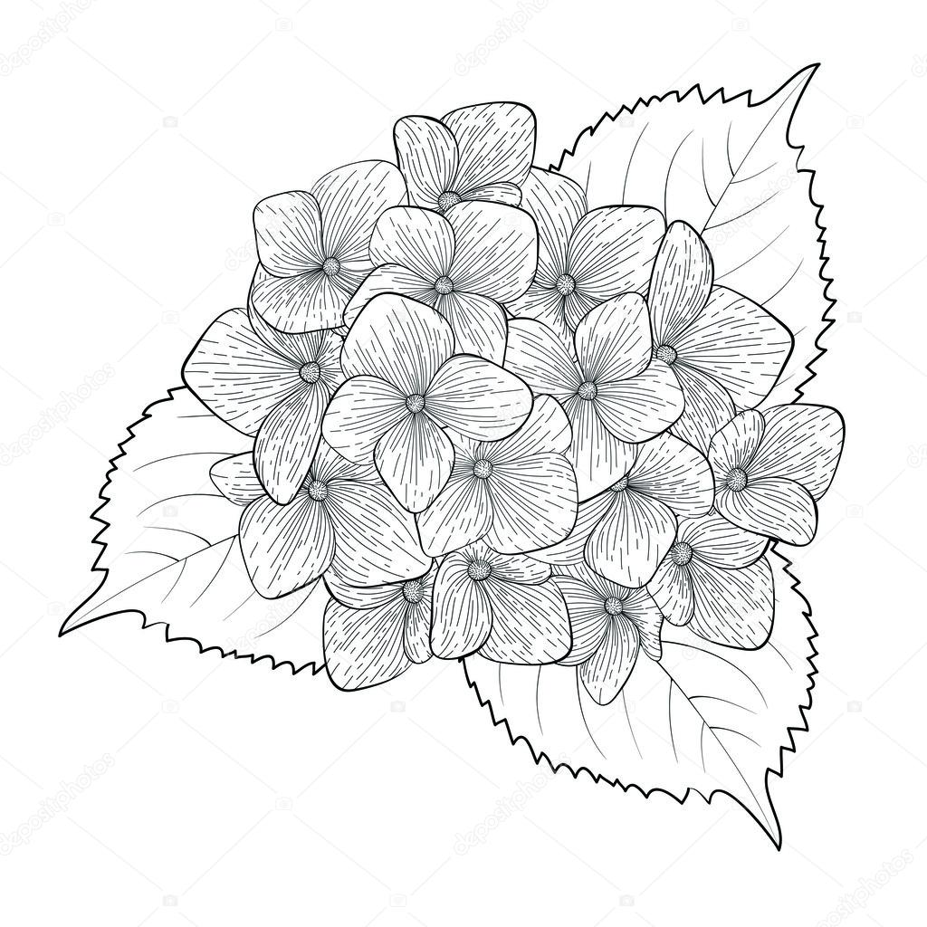 1024x1024 Monochrome, Black And White Flower Hydrangea Isolated Stock