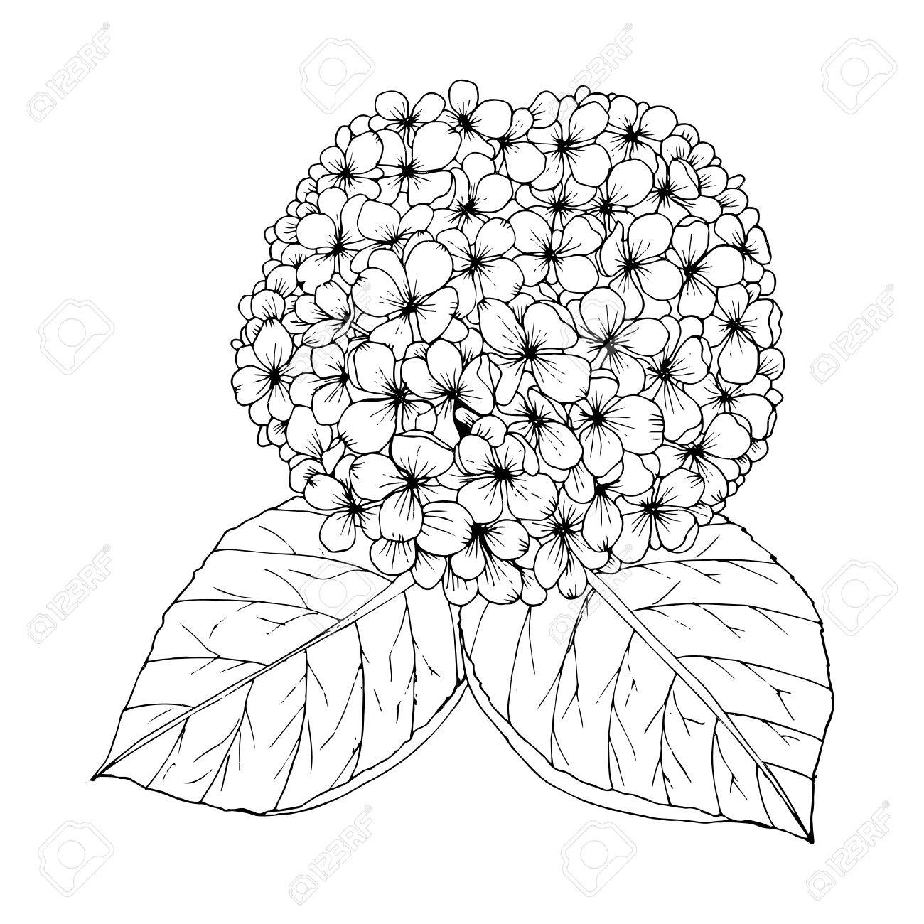 1300x1300 Coloring Page With Doodle Flowers Vector, Hydrangea. Royalty Free