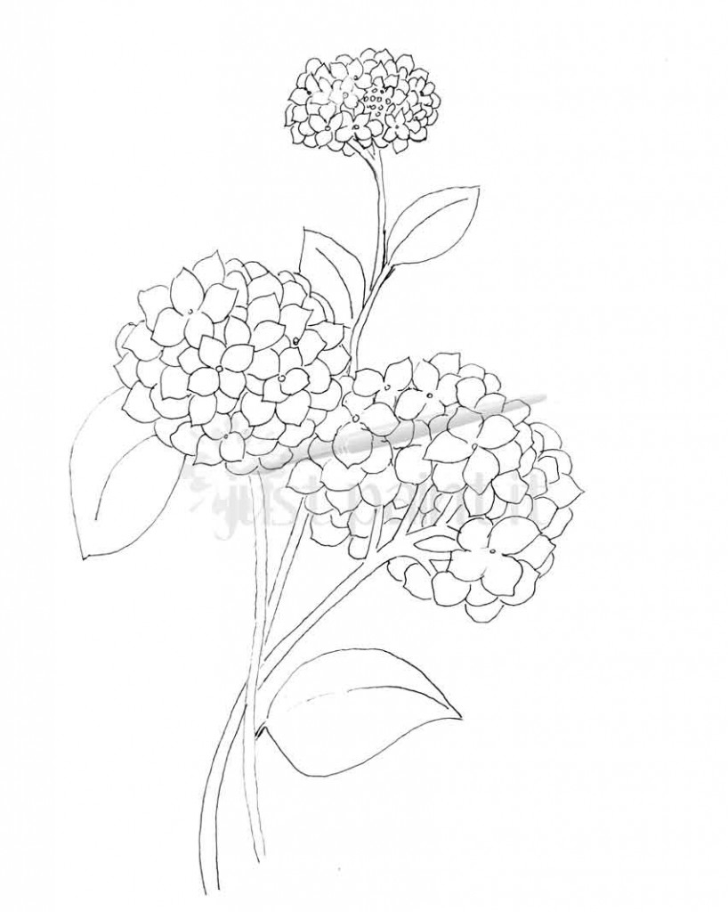 818x1024 Drawing Hydrangea Flower Hydrangea And Peonies Coloring Pages